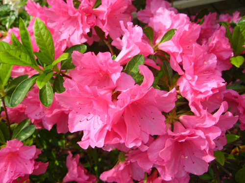 Flowerpowerlab pink panthers a typical flowering azalea bush with many flowers present on one branch mightylinksfo